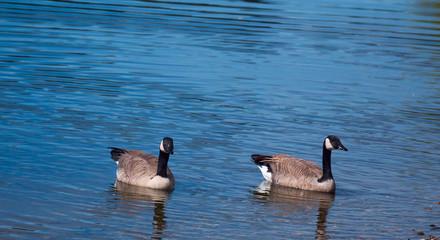 Two Geese in the Lake