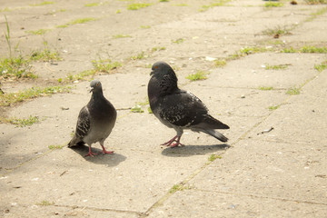 Pigeons in the Park