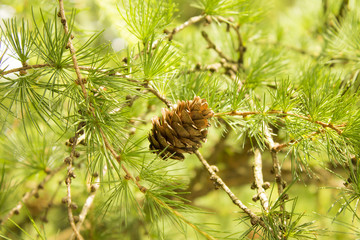 Cones on the tree