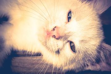 White Kitten Portrait Filtered