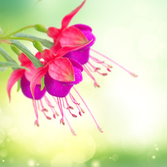 Fuchsia flower and bud over green bokeh background in garden