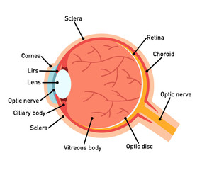 Eye anatomy diagram,illustration.