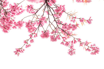 cherry blossom isolated white background