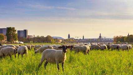 Dresden Sonnenuntergang mit Schafe