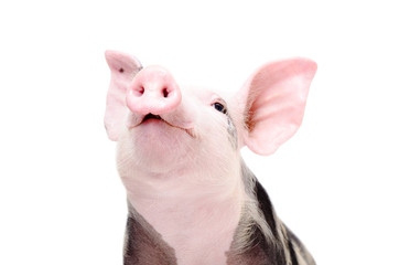 Portrait of a funny grunting pig, closeup