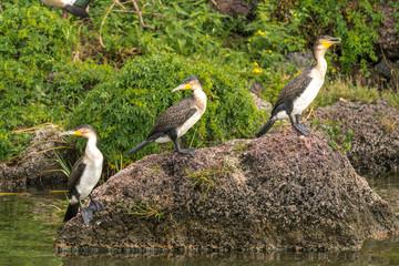 Great Black Cormorants on a rock