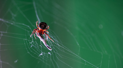 Spider in his web eating some insect