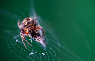 Spider in his web eating victim