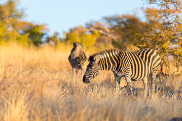 Herd of Zebras in the bush. Wildlife Safari in the Kruger National Park, major travel destination in South Africa. Sunset light.