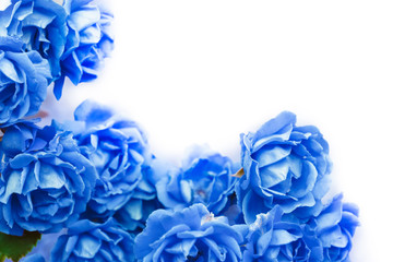 background with blue roses isolated on white.