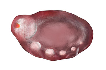 Ovary with follicules illustration