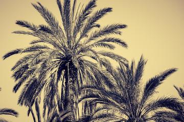 Graceful date palms