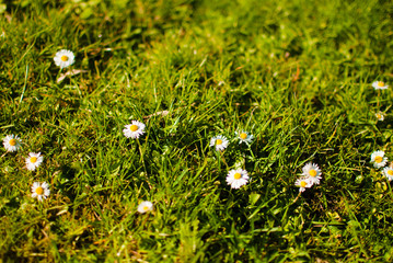 White daisies on a green spring grass