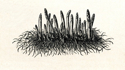 Asparagus (Asparagus officinalis) (from Meyers Lexikon, 1895, 7/288/289)