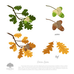 Oak branch in summer and autumn. Oak leaves and acorns