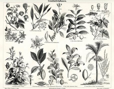 Plants, producing luxury or stimulant goods (from Meyers Lexikon, 1895, 7/338/339)