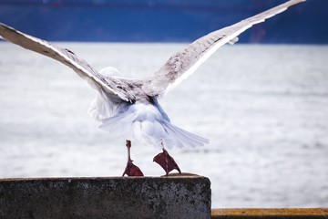 Bird With Spread Wings Against Blurred Snowed Land