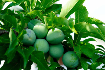 green plum on branch