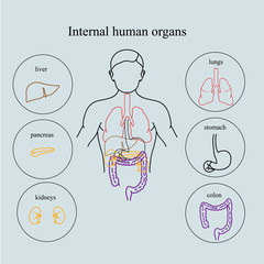 Internal organs in a human body. Anatomy of people