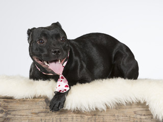 Staffordshire dog portrait. The dog is wearing a pink tie. Image taken in a studio.