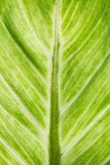 Image of aglaonema leaf close up background.
