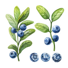 Blueberry. Watercolor botanical illustrations.