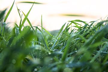 Prato verde all'alba con i fili d'erba pieni di gocce di rugiada