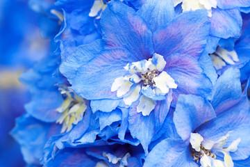 blue flowers of a delphinium close up