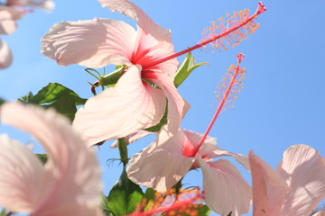 Close-Up Of Pink Hibiscus Flowers Against Clear Blue Sky