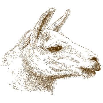engraving illustration of lama