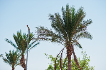 The tops of palm trees background blue sky