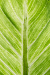 Image of aglaonema leaf close up background.