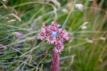 Sempervivum tectorum or sempervivum alpinum - houseleek, with a blue alpine butterfly