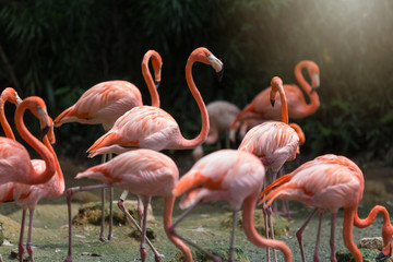 Flock of Pink flamingos standing in water
