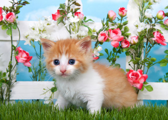 Adorable long haired orange and white tabby kitten sitting in long grass with white picket fence in background, pink roses and white flowers on fence, sky background with clouds.