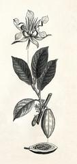 Cacao tree (Theobroma cacao) (from Meyers Lexikon, 1895, 7/338/339)