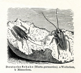 German cockroach (Blattella germanica) (from Meyers Lexikon, 1895, 7/374/375)