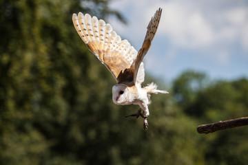 Schleiereule, Tyto alba