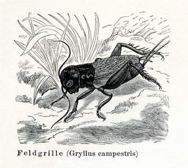 Field cricket (Gryllus campestris) (from Meyers Lexikon, 1895, 7/374/375)
