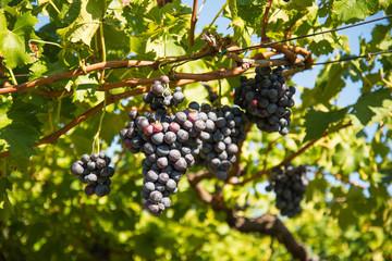 Rote Weintrauben  - Weinreben in der Abendsonne