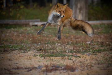 Fototapeta  fox at sunset