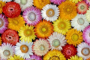 Getrocknete Strohblumenblüten - Nahaufnahme ( Helichrysum bracteatum )