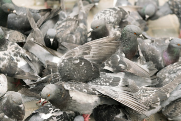 Lots of gray pigeons, background