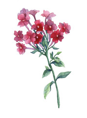 Pink phlox paniculata. A branch of Garden phlox flowers. Watercolor hand painting illustration on isolate white background.