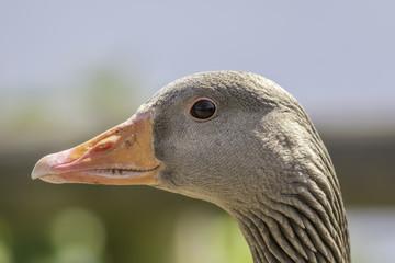 Profile of Greylag goose (Anser anser) head
