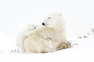 Polar bear mother (Ursus maritimus) playing with two new born cubs, Wapusk National Park, Manitoba, Canada