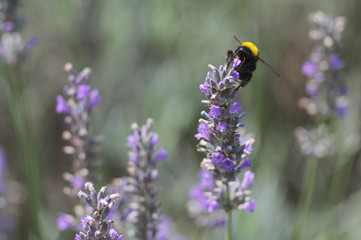 Bumblebee in lavender field