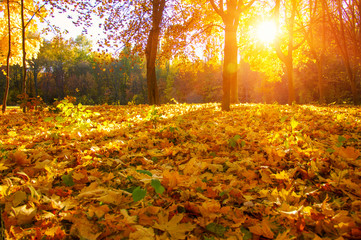 autumn trees with the sun rays