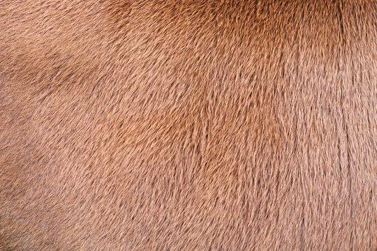 fur texture. Fur fees. Short fur