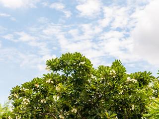 Frangipani Flower against the Blue Sky